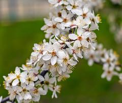 Цветение (Elenaalex961) Tags: весна цветение природа россия