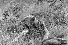 If animals look b&w, is hard to them see lions... =/ (Edgar Guzmán) Tags: animal anmiales animals sudafrica sudáfrica southafrica leon león lion rugido roar bw blancoynegro blackandwhite