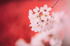 Sakura 1 (lakeside_cat) Tags: cherryblossoms cherrytree sakura 桜 サクラ さくら white pink 白 ピンク 赤 spring flower 花 ハナ