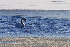 I know I am beautiful (STTH64) Tags: swan sea seaside sunlight reflection ice snow spring cold melted