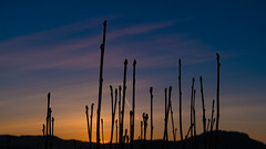 Stretching upwards (Tommy Høyland) Tags: shadow spring landscape purple thin horizen orange nature blue up silhouette sunrise stretching reaching low sky colourful early morning nobody branches springtime tall earlymorning
