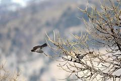 LEO_7864m (MILESI FEDERICO) Tags: milesifederico milesi montagna italia italy iamnikon inmontagna piemonte piedmont primavera wild nikon nikond7100 nital natura nature nat visitpiedmont valdisusa valsusa valledisusa valliolimpiche alpi alpicozie altavallesusa altavaldisusa europa europe d7100 dettagli 2017 cittàmetropolitanaditorino salbertrand bird uccello volatile fauna animale wildlife