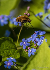 Bee Fly (JKmedia) Tags: bee fly beefly insect inflight forgetmenots blue green furry 2017 boultonphotography spring bombyliidae bombyliusmajor 15challengeswinner