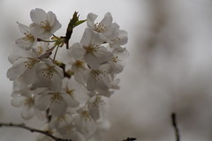 _DSC2952 (hanley.will) Tags: theartistseyes sakura cherryblossom tree dukeuniversity duke