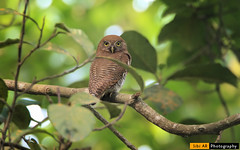 Jungle owl (sibi ar ( I'm BACK :)) Tags: