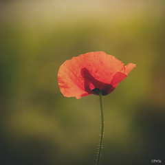 Bendecida (MerchePortu) Tags: blur nature green light amapola red poppy bokeh flower flowers spring april abril primavera flores backlighting contraluz macro