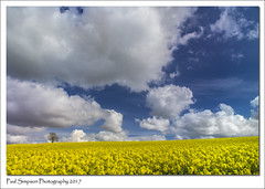 Yellow and Blue (Paul Simpson Photography) Tags: paulsimpsonphotography nature yellowfields bluesky poloriser polorisingfilter april spring farm farmland crops rapeseed oilseedrape farming agriculture tree clouds whiteclouds sonya77 northlincolnshire niceweather weatherphotography rural rurallife
