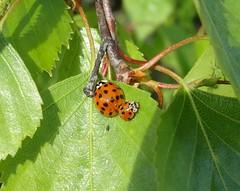 Little & large! (rockwolf) Tags: 10spot adaliadecempunctata ladybird harlequinladybird harmoniaaxyridis beetle coccinelle coleoptera silverbirch tesco shrewsbury shropshire rockwolf
