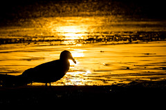 After the storm (FotoFloridian) Tags: bird gull pacific ocean california sunset orange nature beach sea seacape water outdoors coast sun tranquility wildlife sony a6000 alpha