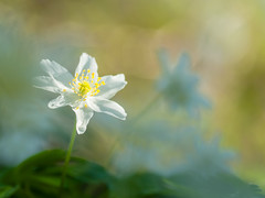 Bosanemoontjes - Anemone nemorosa (de_frakke) Tags: flower bloem bosanemoon anemone wit nature natuur white bokeh