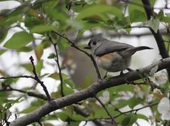 Tufted Titmouse (gmorient1@aol.com) Tags: birds centralpark newyork springmigration