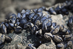 Mussels (Neil Schofield) Tags: mussels porthmeor stives cornwall beach seashore rock nature seaside