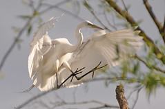 coming in (christiaan_25) Tags: greategret ardeaalba egret bird white big animal flyer wings feet toes claws face beak landing tree nature wildlife outside outdoors light