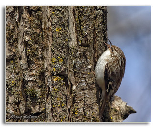 103A2811-DL   Grimpereau brun / Brown Creeper.