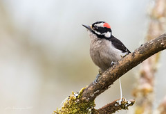 Downy Woodpecker (Peter Bangayan) Tags: smallbirds backyardbirds wildlife nature ef500mmf4lisusm canon eos7d eos7dmkii