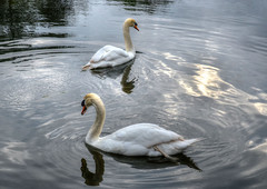 Swans at Stanton Country Park, Wiltshire (Baz Richardson (trying to catch up again!)) Tags: wiltshire stantoncountrypark swans ripples lakes