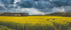 Another Rape Field , EOS 80D, EF-S 24 2,8 STM , Pano (hundephotografie) Tags: panorama rape eos80d efs2428stm canon landscape sauerland