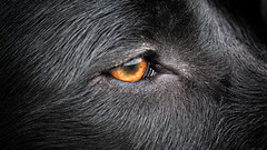 eye (uwe.kast) Tags: labrador labradorretriever labradorredriver eye auge hund haustier dog nikon1v1 nikon1 v1