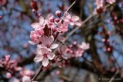 Baumblüte und ein Augenblick blauer Himmel (Sockenhummel) Tags: tree blüten himmel spring frühling kirschbaum hanami fuji x30 fujifilm rosa baumblüte bäume blossoms