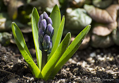 Jacinthe  - Hyacinthus (Danielle Champagne) Tags: jacinthe hyacinthus daniellechampagne fleurs flower
