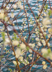 Blooming willow (Andrei Grigorev) Tags: willow branches tree bush flowers blooming leaves plant botanical lake water waves reflection nature abstract pattern spring blue green yellow beige