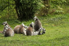 Lemur (Ringstaartmaki) (ToJoLa) Tags: canon canoneos60d 2017 safaripark beeksebergen voorjaar spring lente animals dieren dierentuin noordbrabant zoo lemur ringstaartmaki