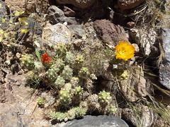 Cactus con flores (Wen Rou) Tags: elloa sanpedrodeatacama guatin valledeloscactus