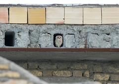 Spotted Owlet (Athene brama) (piazzi1969) Tags: elements owls käuze brahmakauz athenebrama spottedowlet eulen wildlife fauna birds iran middleeast canon markii ef100400mm hormozgan 7d eos nature
