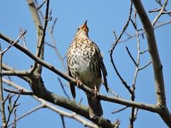 Thrush (deannewildsmith) Tags: earthnaturelife staffordshire thrush bird wolseleynaturecentre