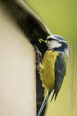 """Blue Tit  / Cyanistes Caeruleus aka Parus Caeruleus (I'll catch up with you later, your comments and cr) Tags: rertug nenecountrypark nikkor200500mmf56eafsed nikond610fx wildlifephotography birdphotography animal bluetit """"nikonflickraward"""""""