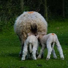 Lambs feeding, Mary Arden's Farm, Wilmcote (Dave_A_2007) Tags: animal mammal nature sheep wildlife wilmcote warwickshire england