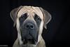 Sweet eyes. (lexlikelily) Tags: studio mastiff englishmastiff dog