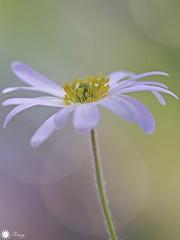 Inner light (Trayc99) Tags: beauty beautyinmacro beautyinnature flower floralart petals white softness macro closeup bokeh