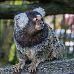 Oustitti à toupets blancs (wpierre48) Tags: animal ouistiti singe