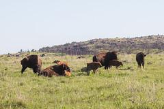 Bison with little ones (yosmama151) Tags: americanbison bison lawton oklahoma spring wichitamountains wichitamountainswildliferefuge