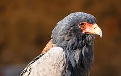 Aigle bateleur (G. Regisser Photographie) Tags: volerie des aigles kintzheim canon 5d mark iii 70 200 f28 is ii alsace plumes