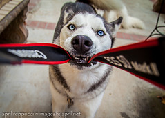 I Said NO Pictures! (Images by April) Tags: dog canon 50mm husky f14 siberianhusky 5d funnydog playful tugofwar snowdog markii