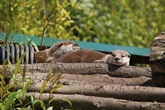 Asian Short-Clawed Otters (Munki Munki) Tags: nature washington conservation northeast otters asianshortclawedotters washingtonwetlandcentre