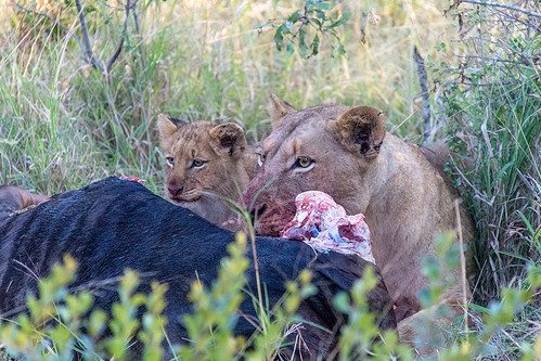 A Lioness and a cub having Wildebeest breakfast