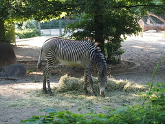 Zebra in Berlin Zoo (jennygriffiths1) Tags: berlin zoo zebra