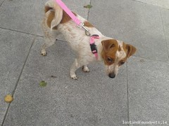 Mon, Jun 17th, 2013 Found Female Dog - Paul Street, Cork City (Lost and Found Pets Ireland) Tags: street dog june found paul cork 2013 founddogpaulstreetcork