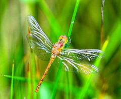 COMMON DARTER (STEVEN K 1963) Tags: