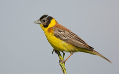 Black-headed Bunting
