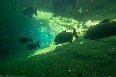 Pacu (.James Brian Clark) Tags: fish nature animal swimming zoo aquarium marine underwater freshwater aquaculture pacu characin tambaqui gamefish blackpacu cachama colossomamacropomum giantpacu blackfinnedpacu gamitana