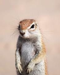 Ground Squirrel (Xerus inauris) (Brendon White) Tags: botswana groundsquirrel xerusinauris khutse