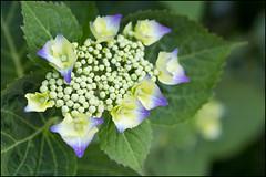 Beginning to bloom (Eric Flexyourhead) Tags: plant canada green vancouver garden bc bokeh britishcolumbia hydrangea strathcona 45mm hortensia ajisai  zd lacecap mzuikodigital45mmf18 olympusem5