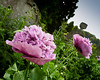 Lilac Poppies (Photo Gal 2009) Tags: flowers fauna flora purple lilac poppy poppies