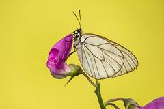 Aporia crataegi (Valentina Vassallo) Tags: macro butterfly toscana farfalla arezzo aporia crataegi 55250 canon600d