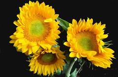Girasoli (Melisenda2010) Tags: flowers stilllife flora fiori naturamorta coth coth5