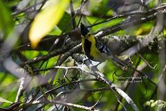 YELCHETIT 0087 (bryanjsmith62) Tags: birds tits yellowcheekedtit parusspilonotus birdsofbhutan